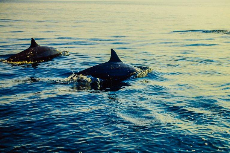 lovina dolfijnen