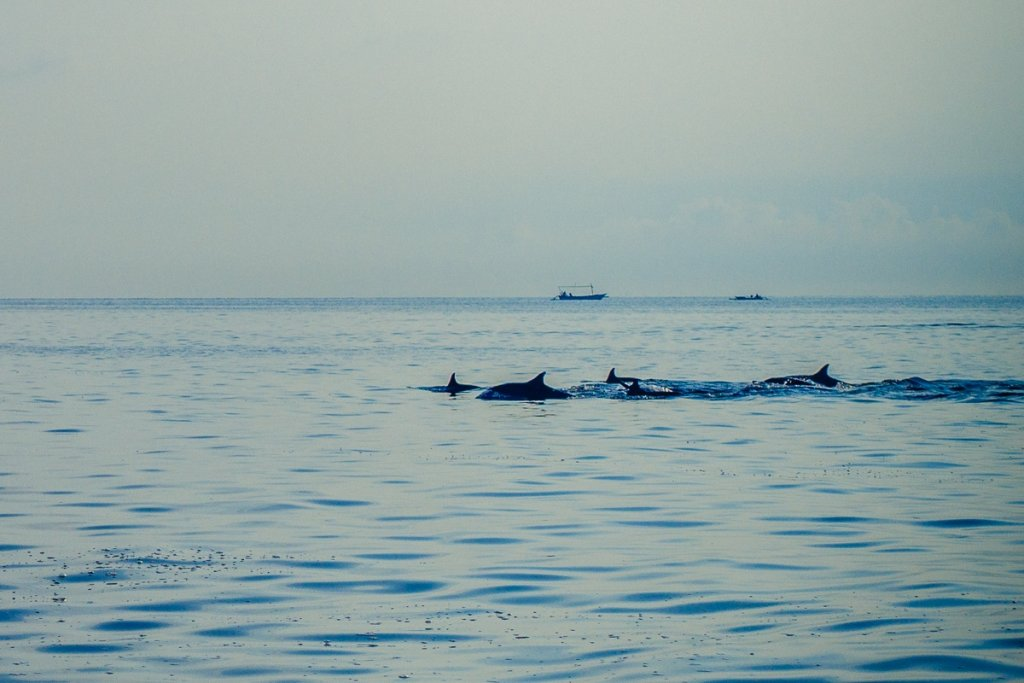 dolfijnen kijken lovina