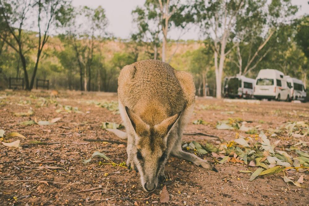kangaroo australie