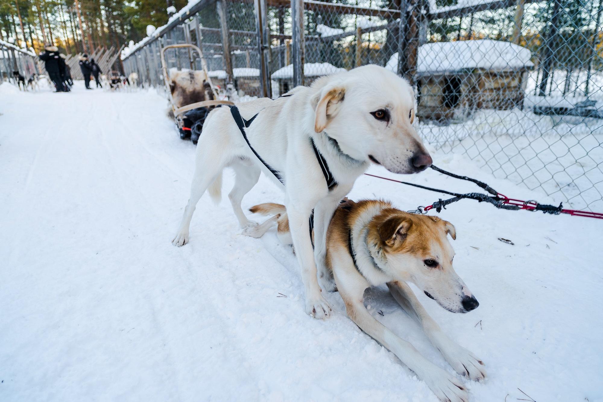 hondenslee finland
