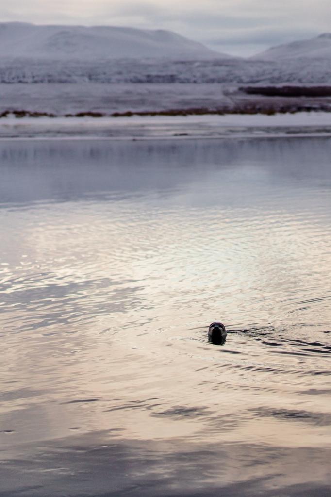 Zeehond IJsland