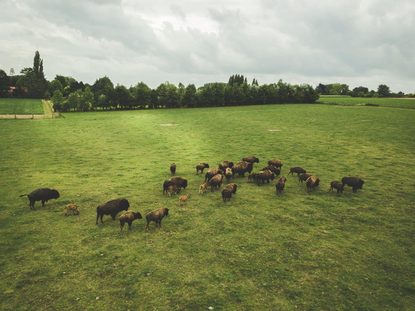 bizons vlaamse ardennen