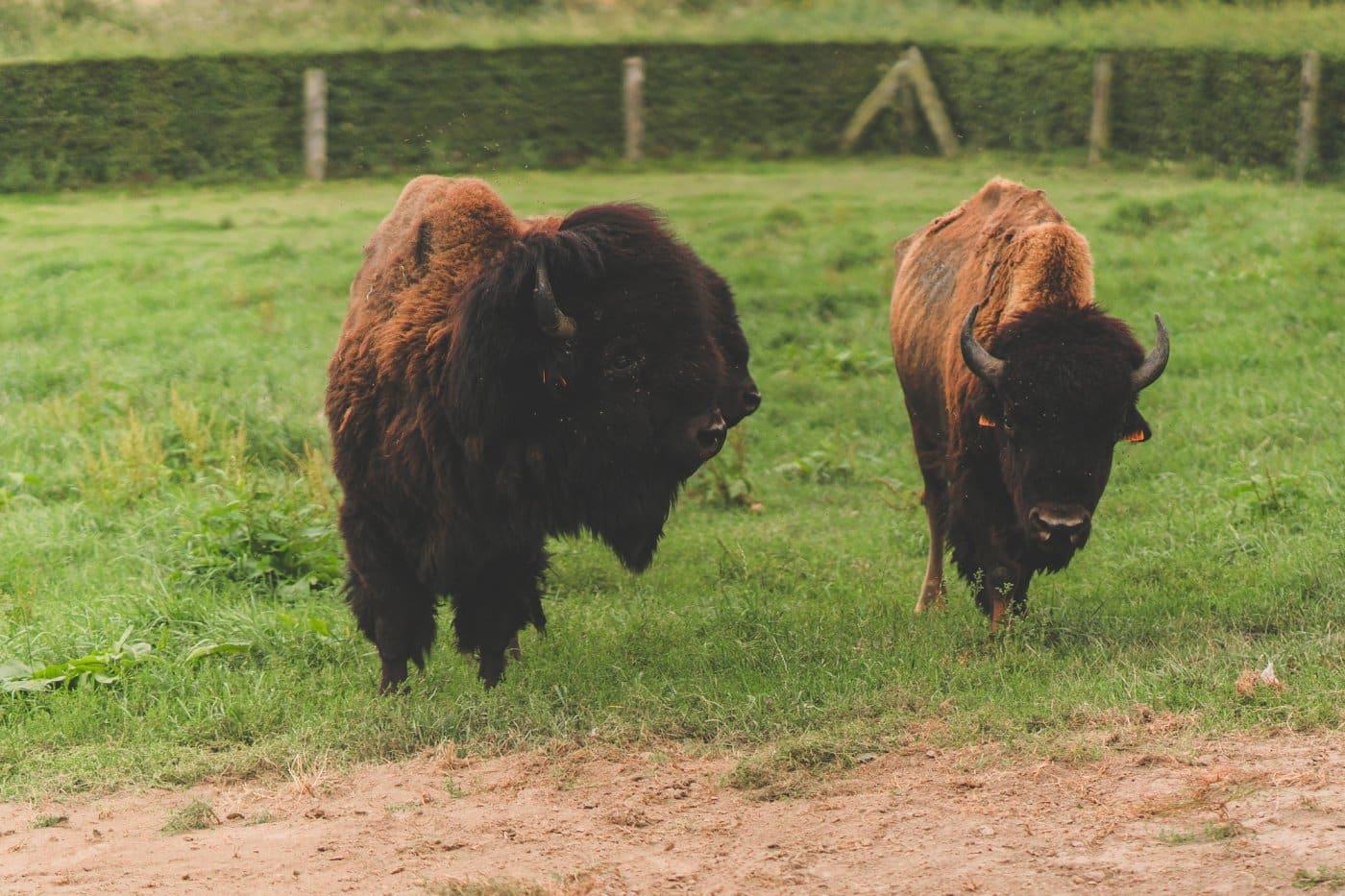 bizons ardennen