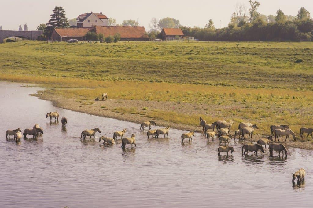 Wilde paarden, Limburgse vetes en knapkoek aan de Maasvallei