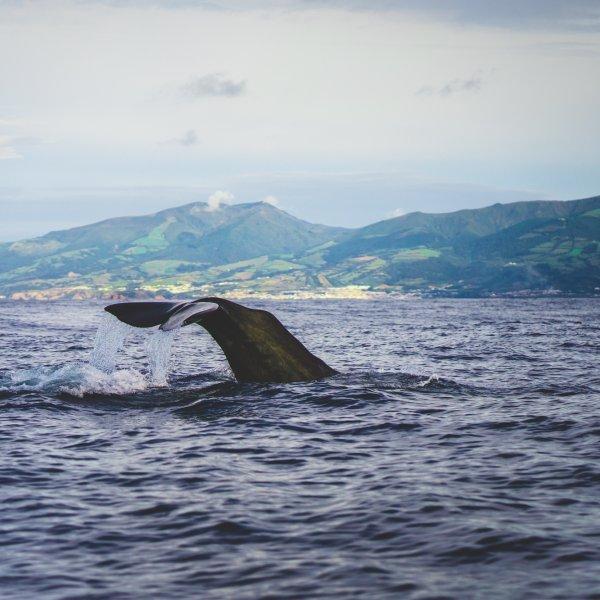 Van walvisjager naar Free Willy op de Azoren
