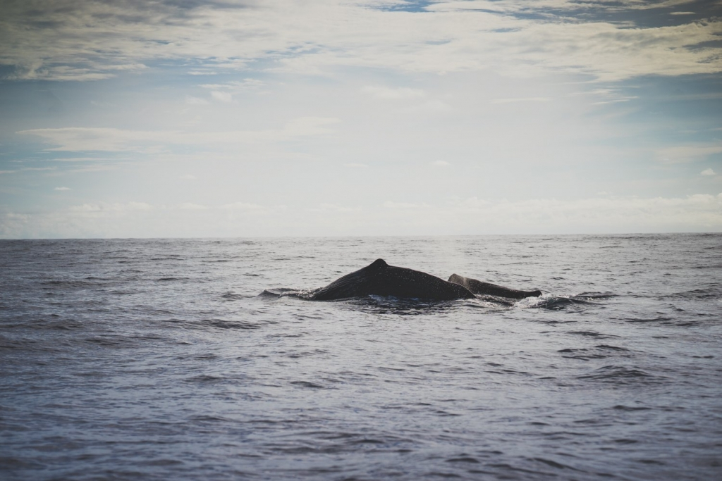 walvissen spotten op de azoren