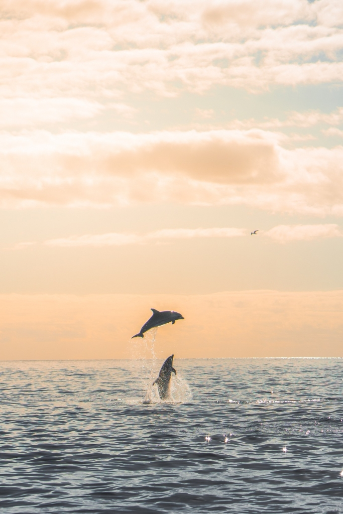dolfijnen en walvissen in de azoren