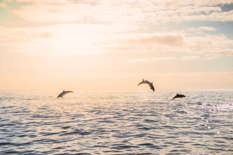 azoren walissen dolfijnen