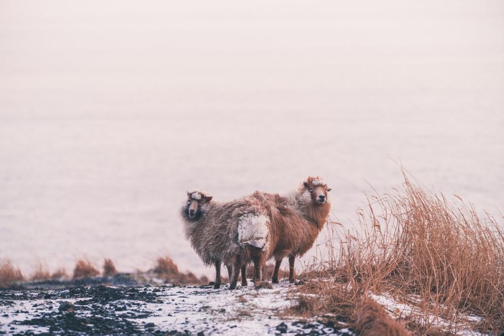 schapen op de Faeroer eilanden