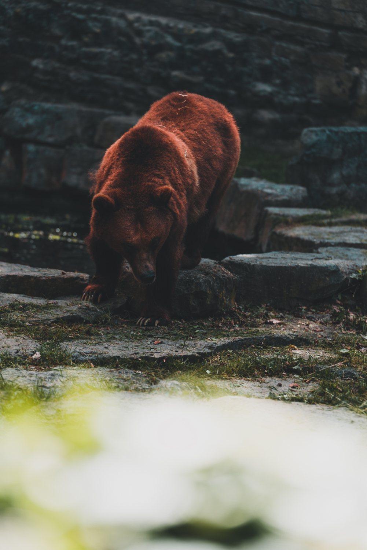 beren zien in belgie