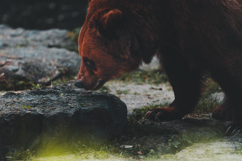beren spotten belgie