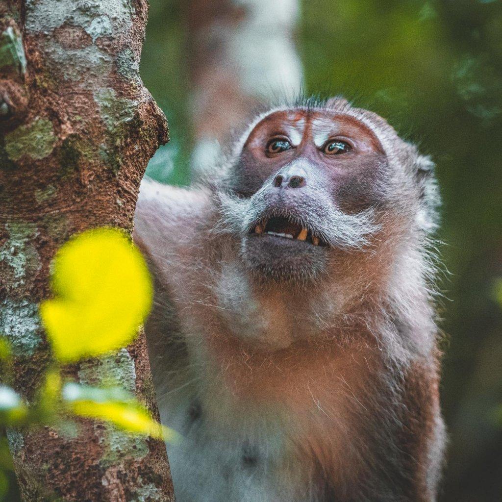 wilde apen in khao sok