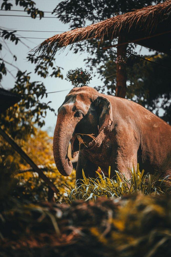 chiang mai olifanten