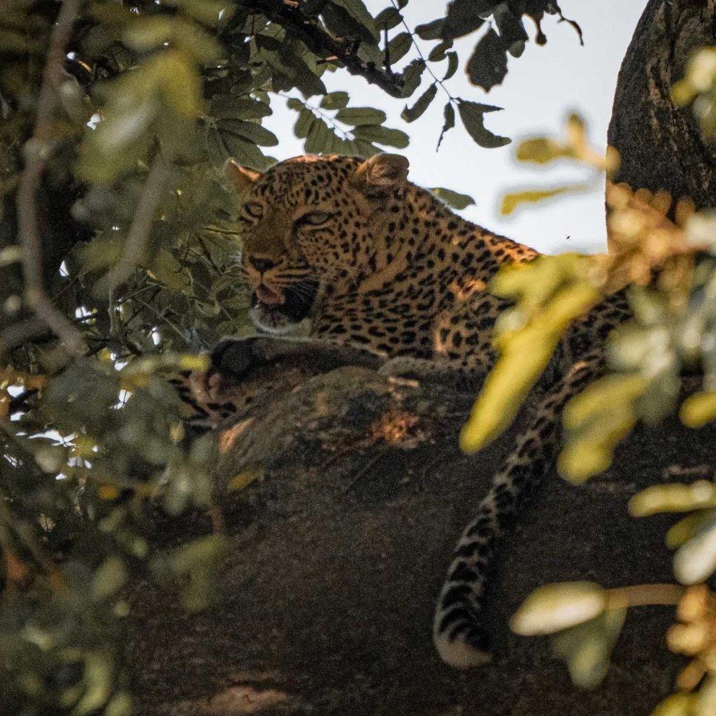 jachtluipaard op safari