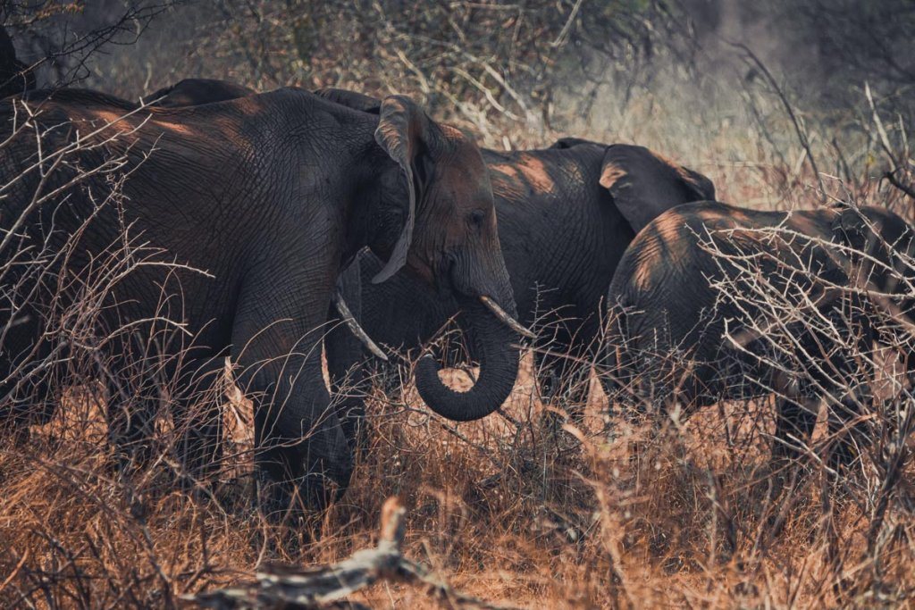 olifanten zuid afrika kruger