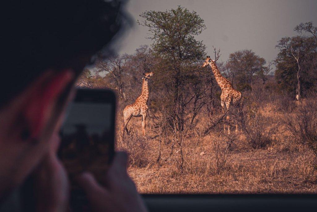 giraffen safari kruger park