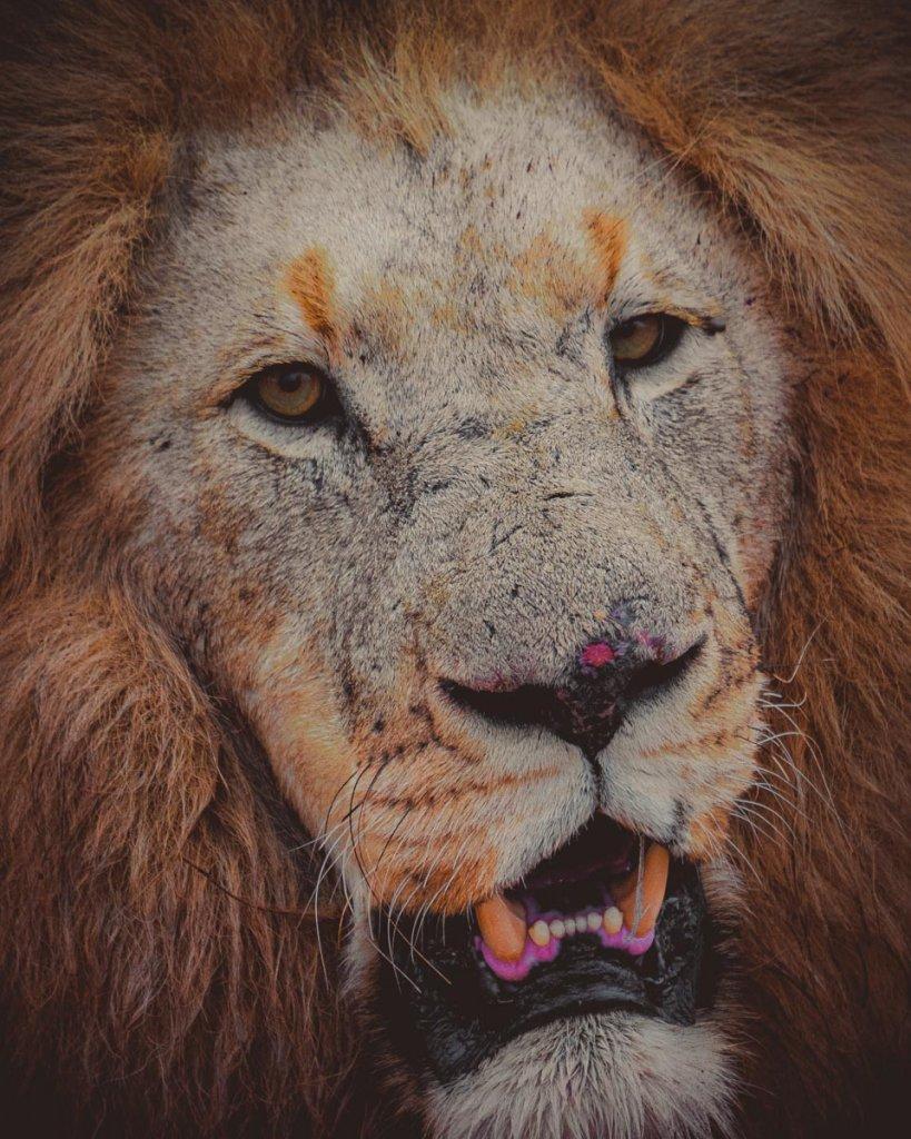 leeuwen spotten zuid afrika