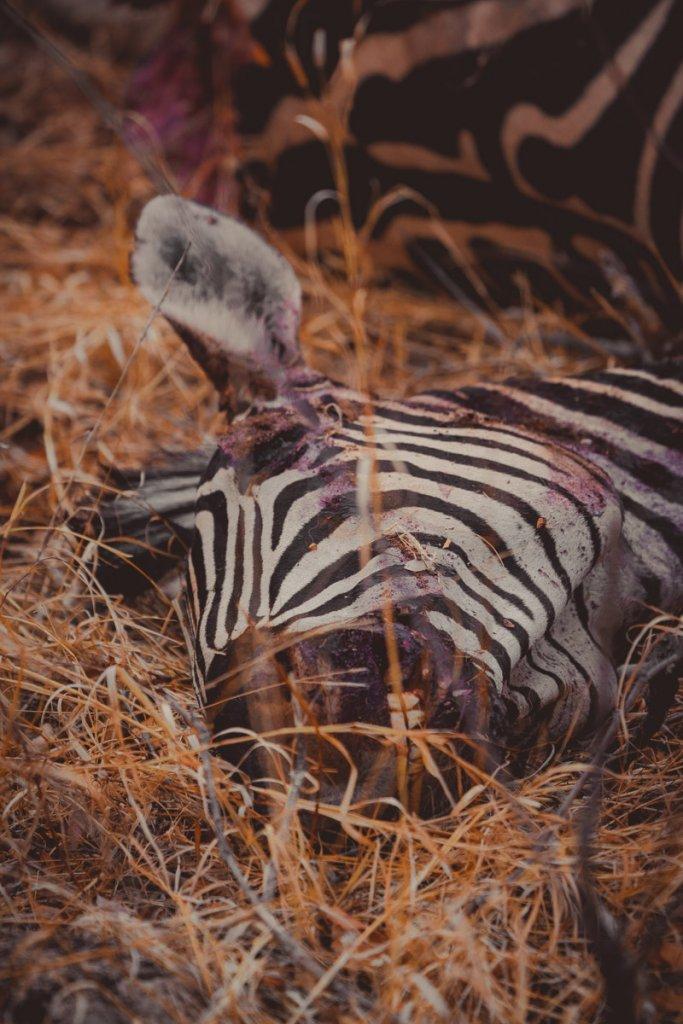 waar zebras zien