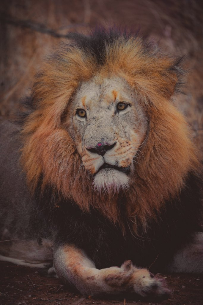 waar leeuwen zien in zuid afrika