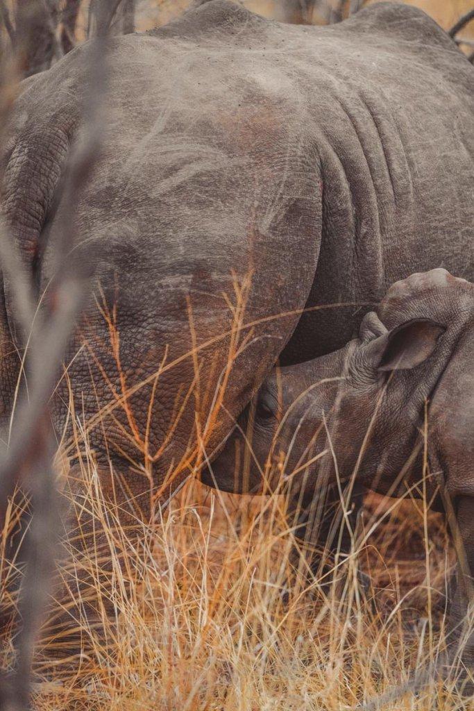 neushoorns in zuid afrika