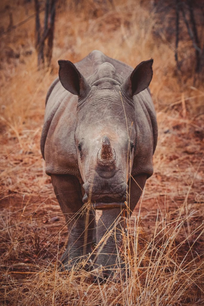 neushoorns zuid afrika safari