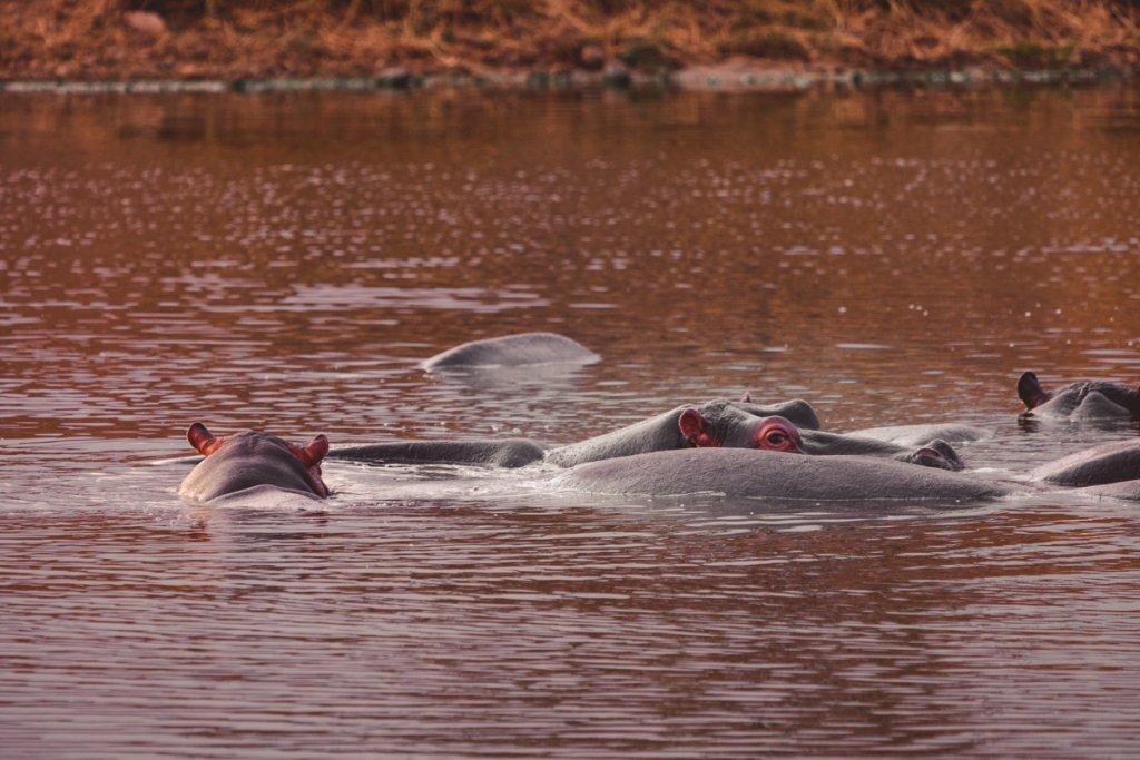 waar nijlpaarden zien zuid afrika