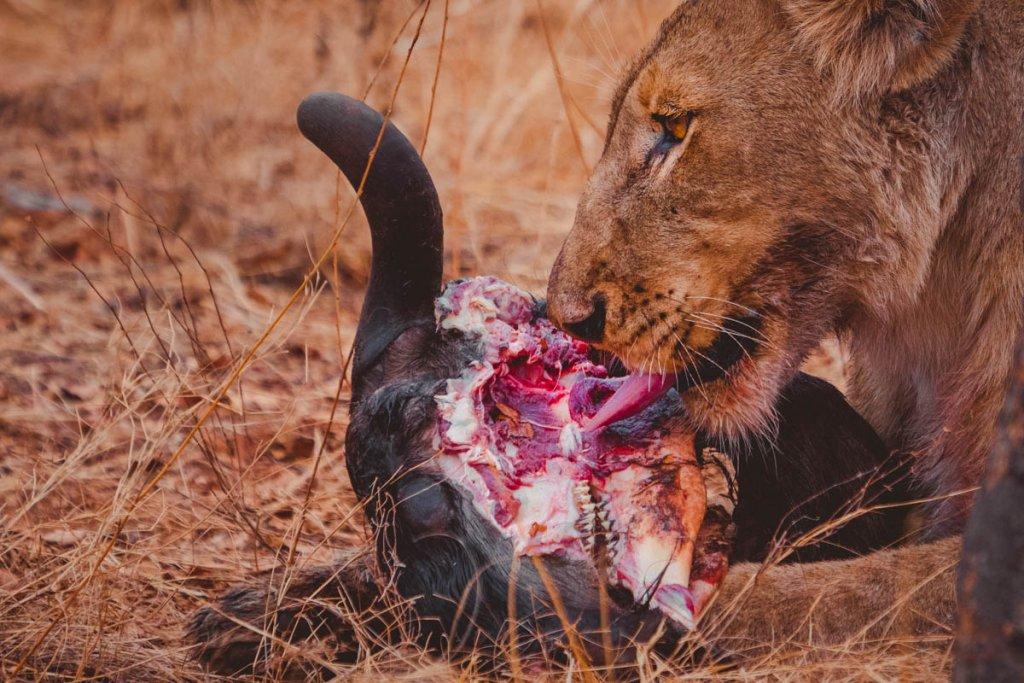 aanval leeuw safari kruger