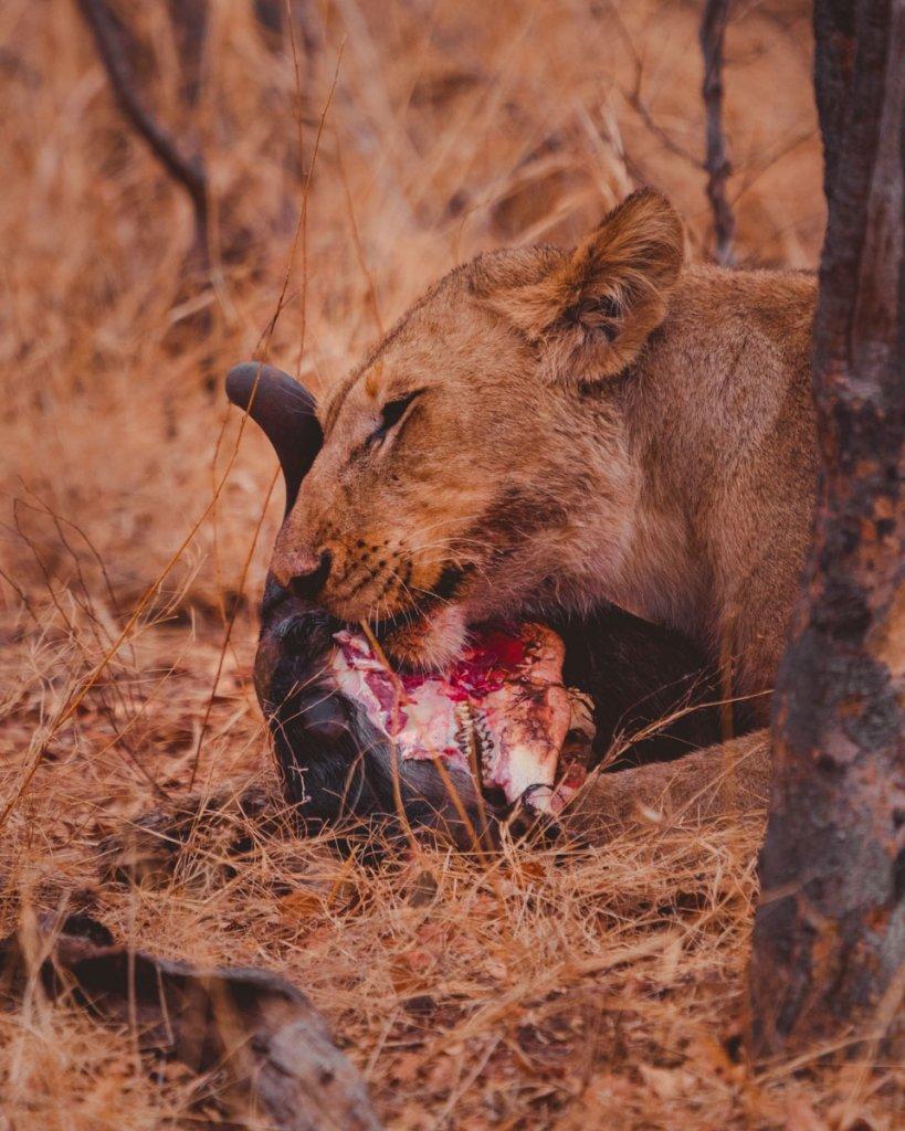 leeuw safari