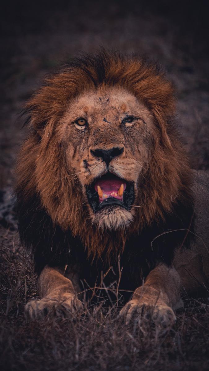 leeuwen spotten kruger park