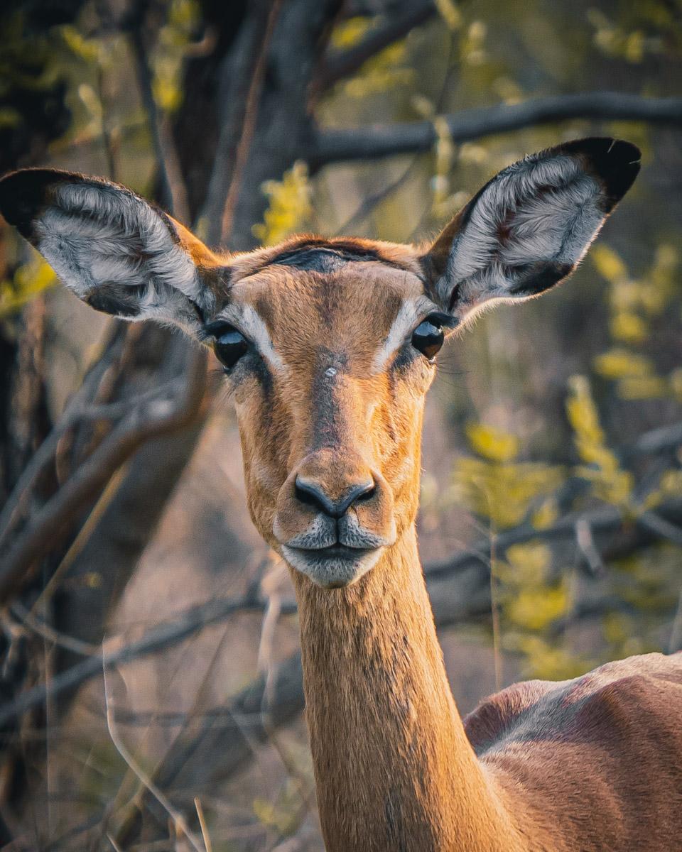 wilde dieren kijken afrika