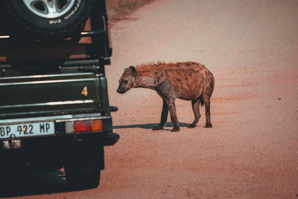 hyenas spotten zuid afrika
