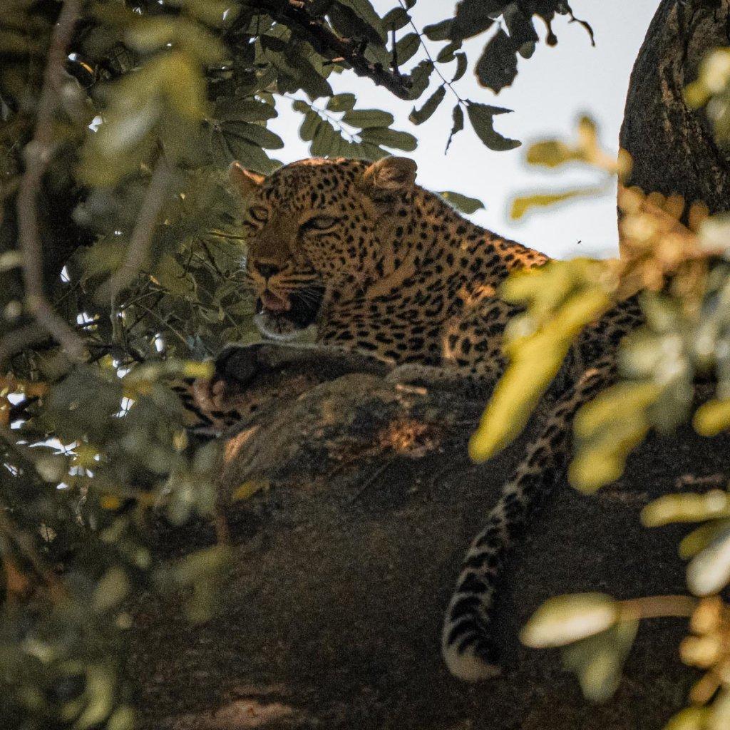 waar luipaarden zien