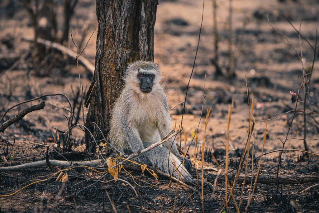 zijn apen gevaarlijk in zuid afrika