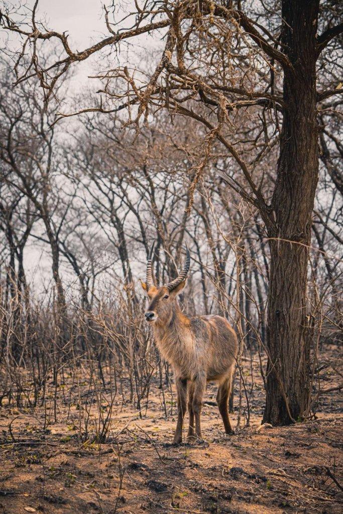 safari koedoe zuif afrika