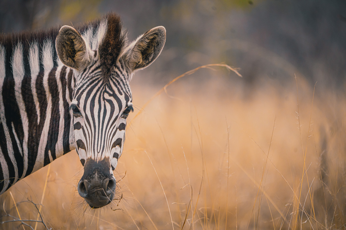 zebras spotten afrika