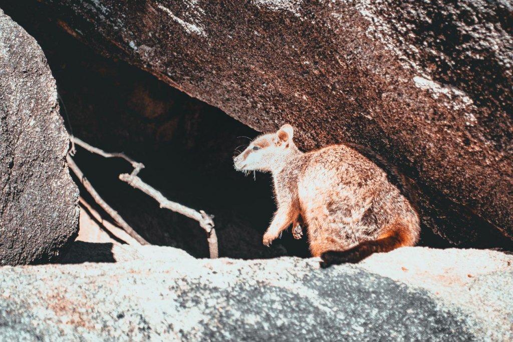 een baby koala op Rottnest Island