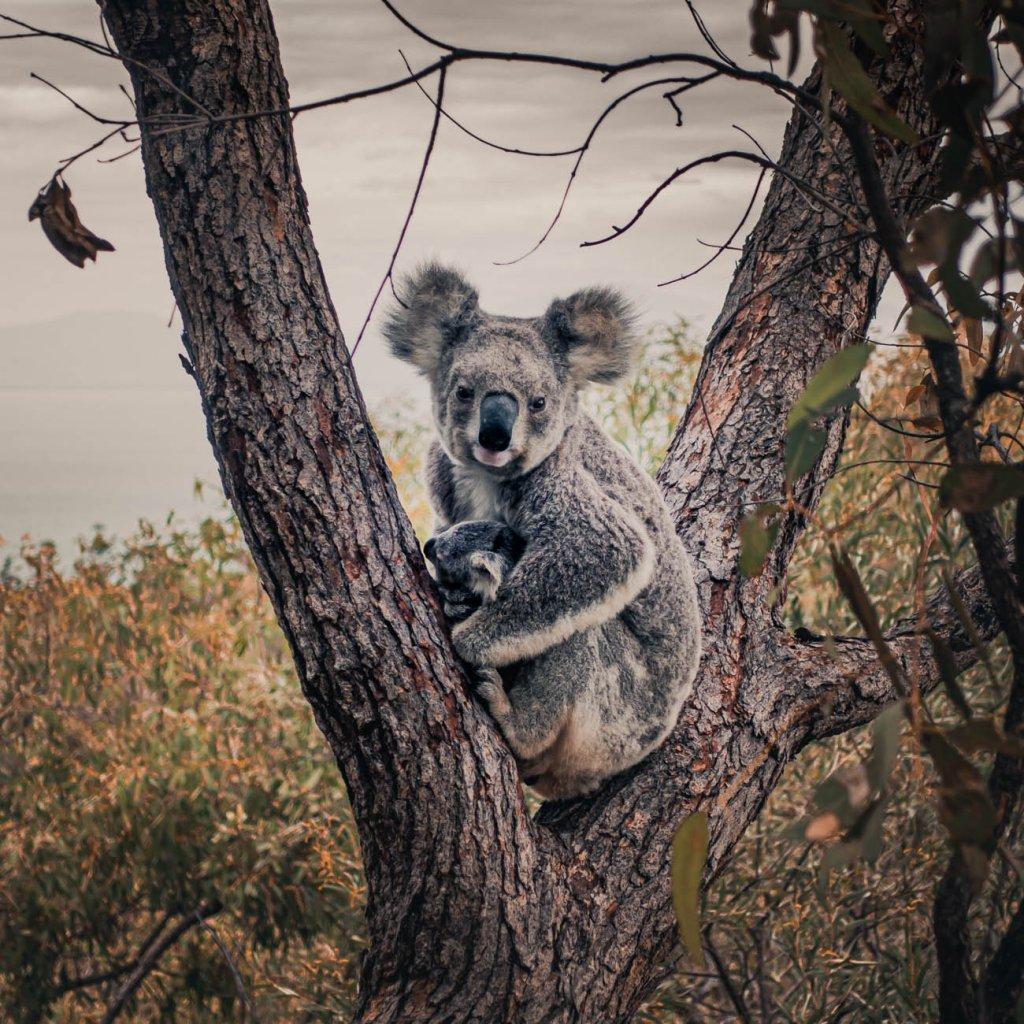 koalas zien in australie