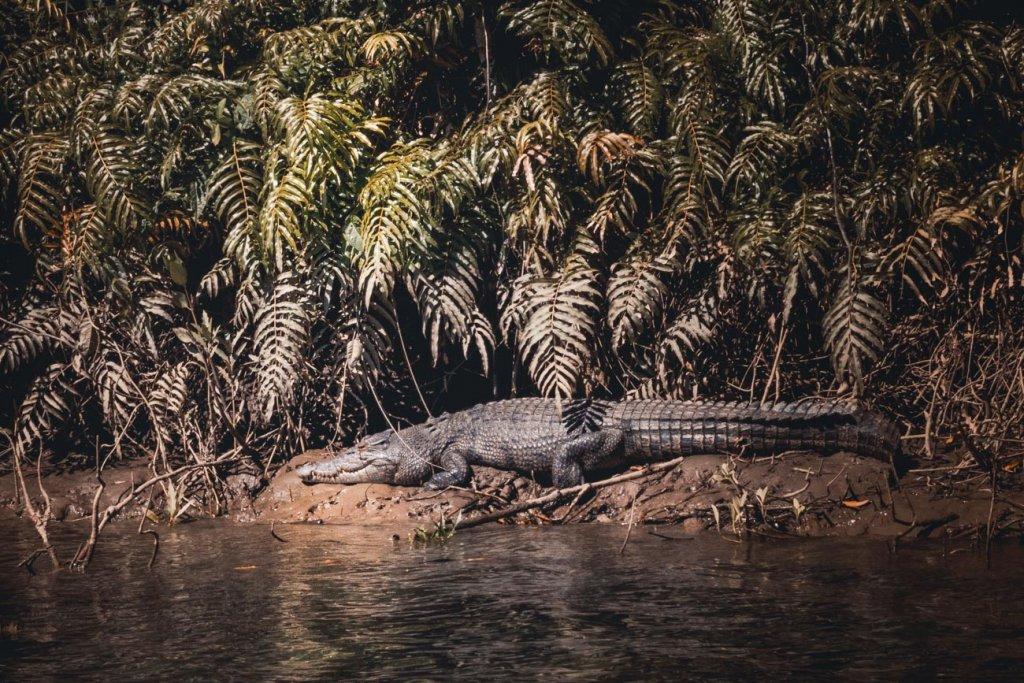 krokodillen australie