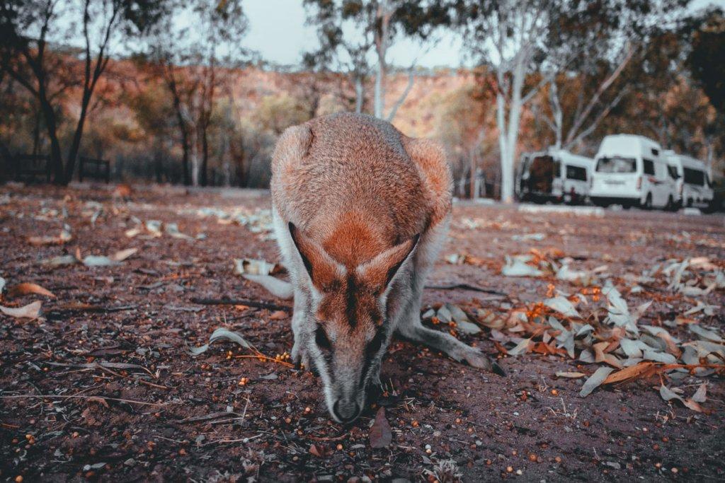 kangaroes zien in australie