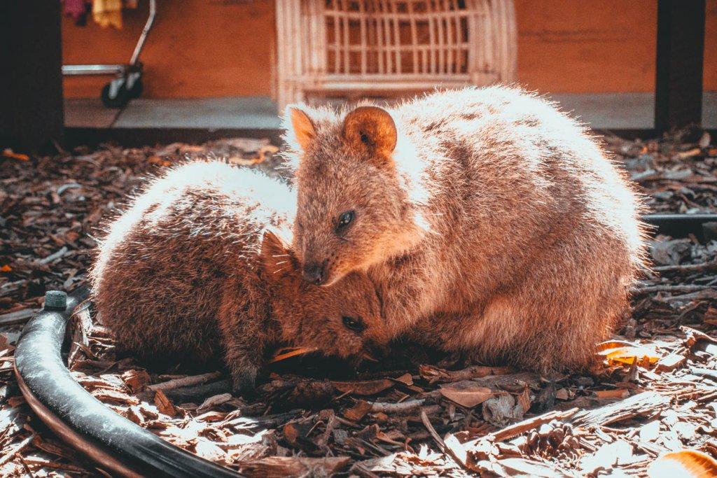 australie rottnest island