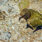 kea spotten kepler track nieuw zeeland