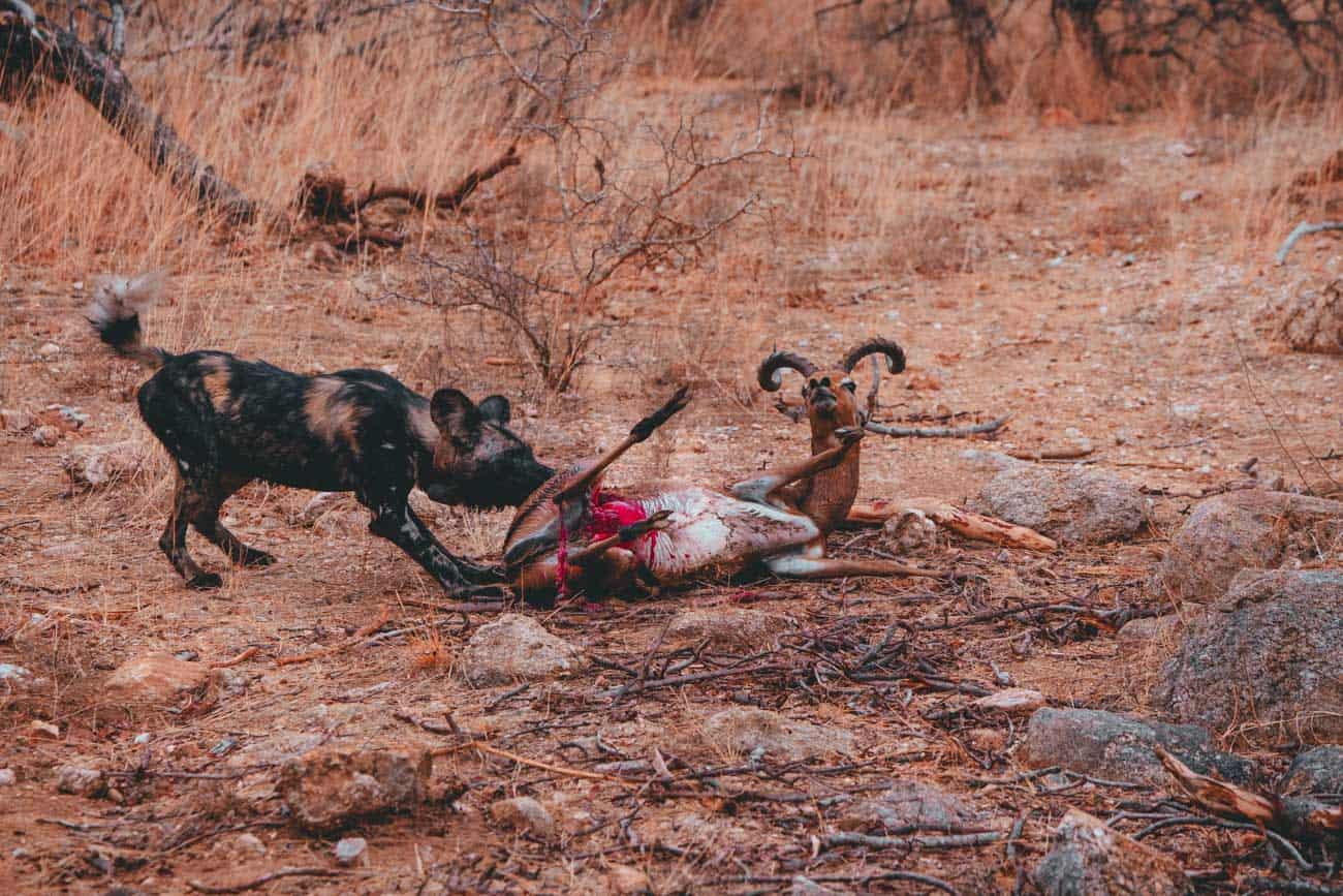 kill zuid afrika natuur safari
