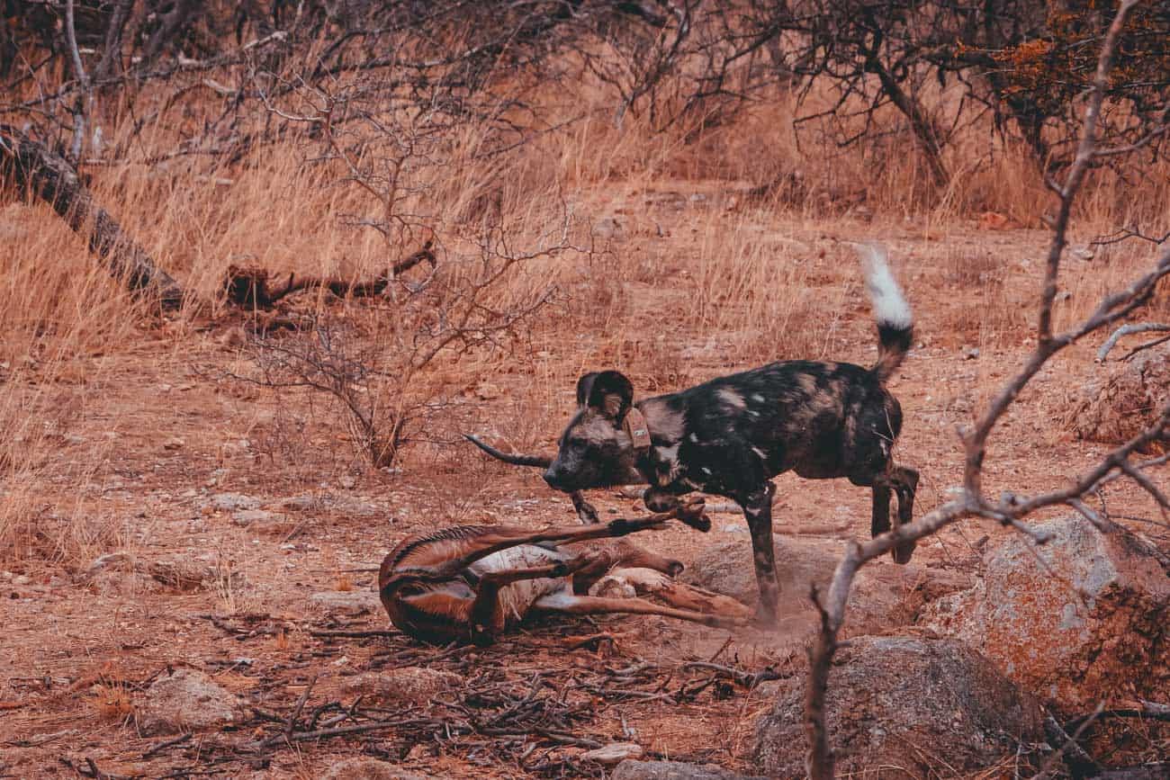 jager en prooi safari zuid afrika
