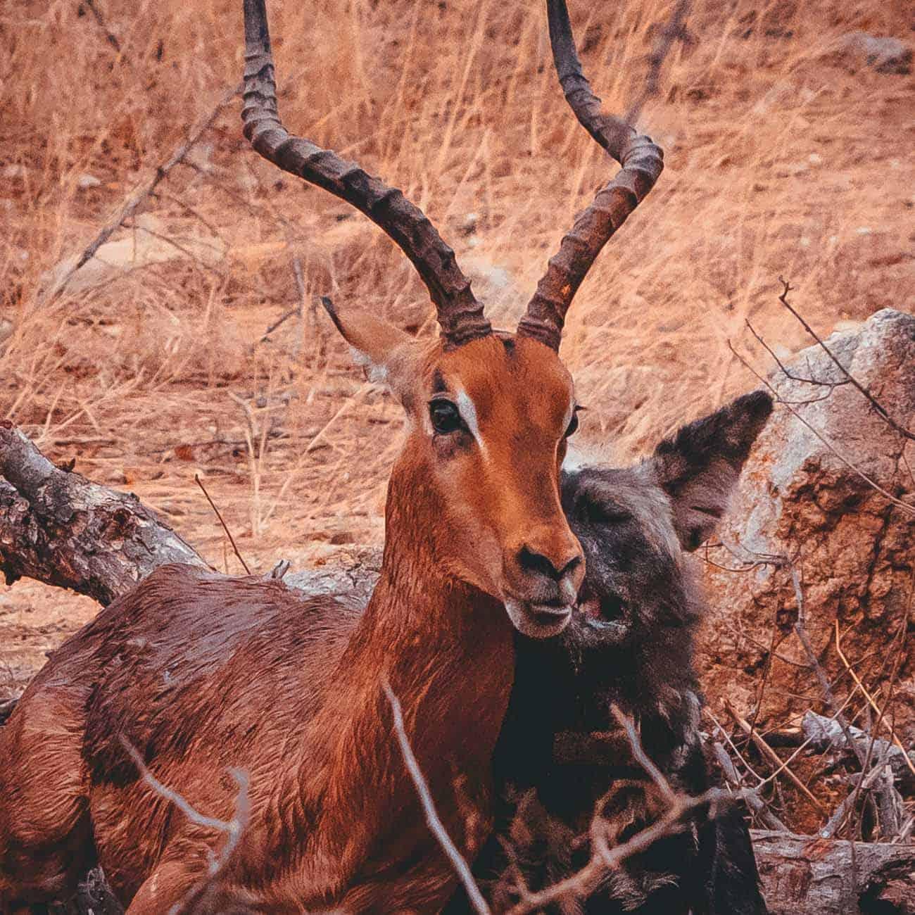 wild dog en impala