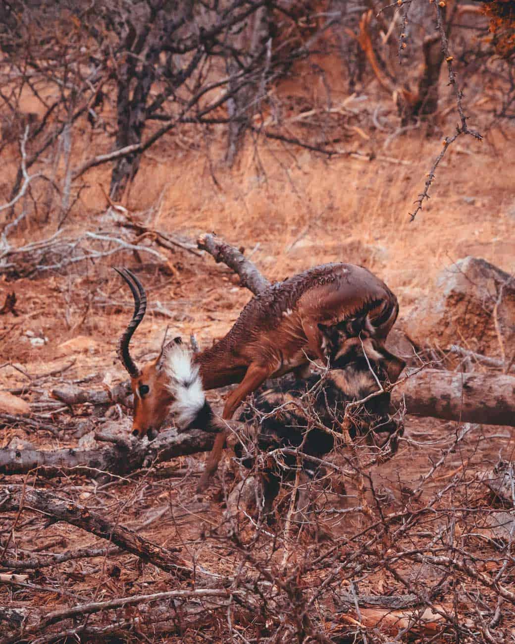 impala kill zild dogs