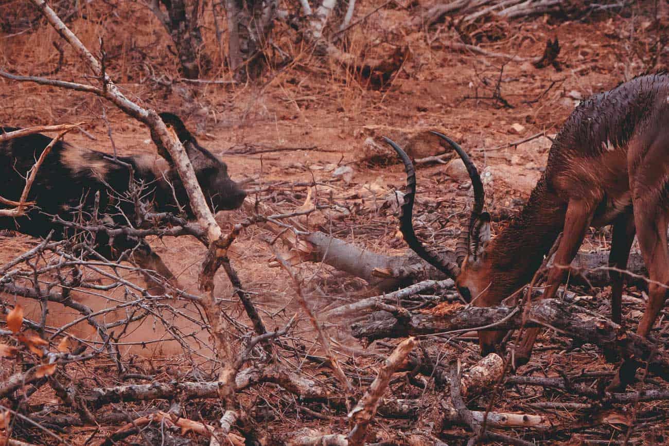 wild dog vs impala