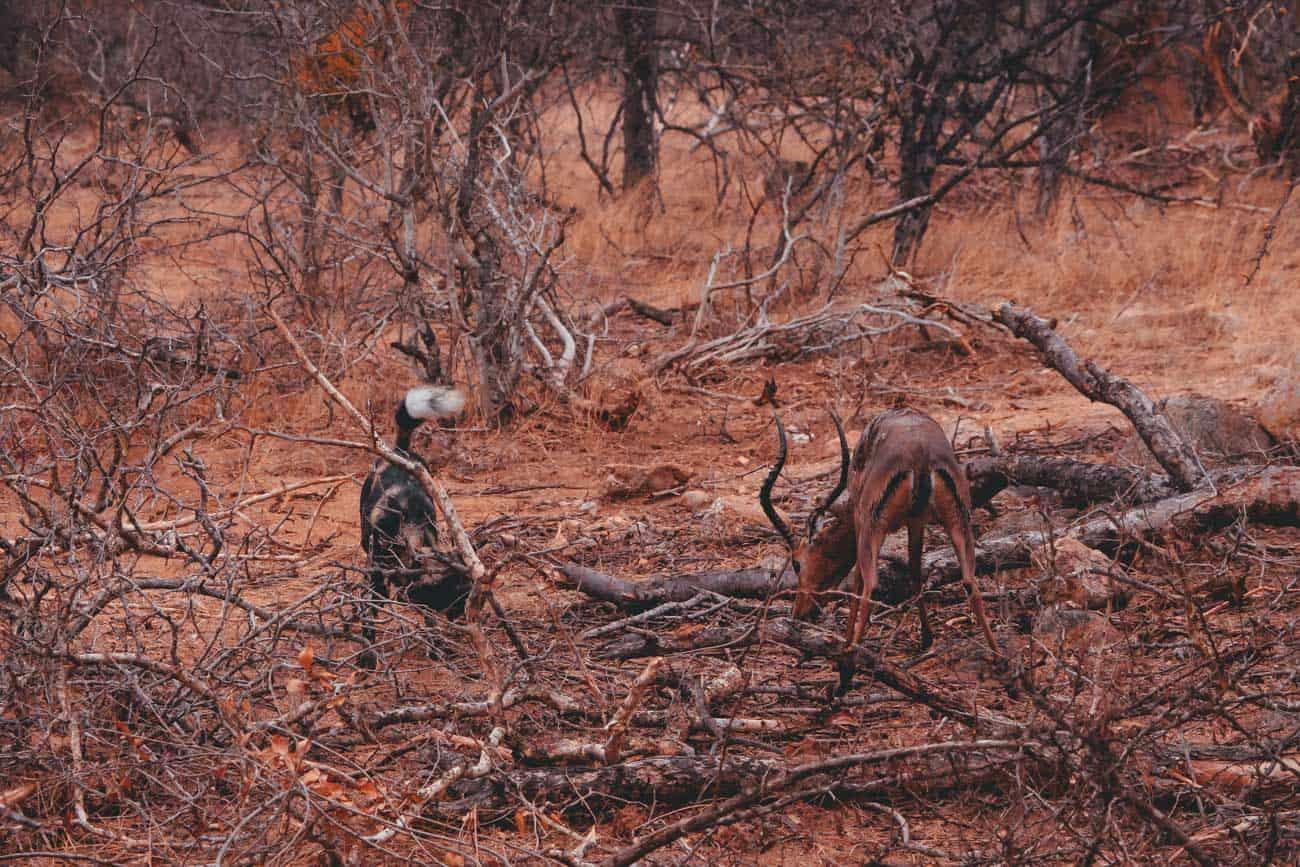 wild dog kill