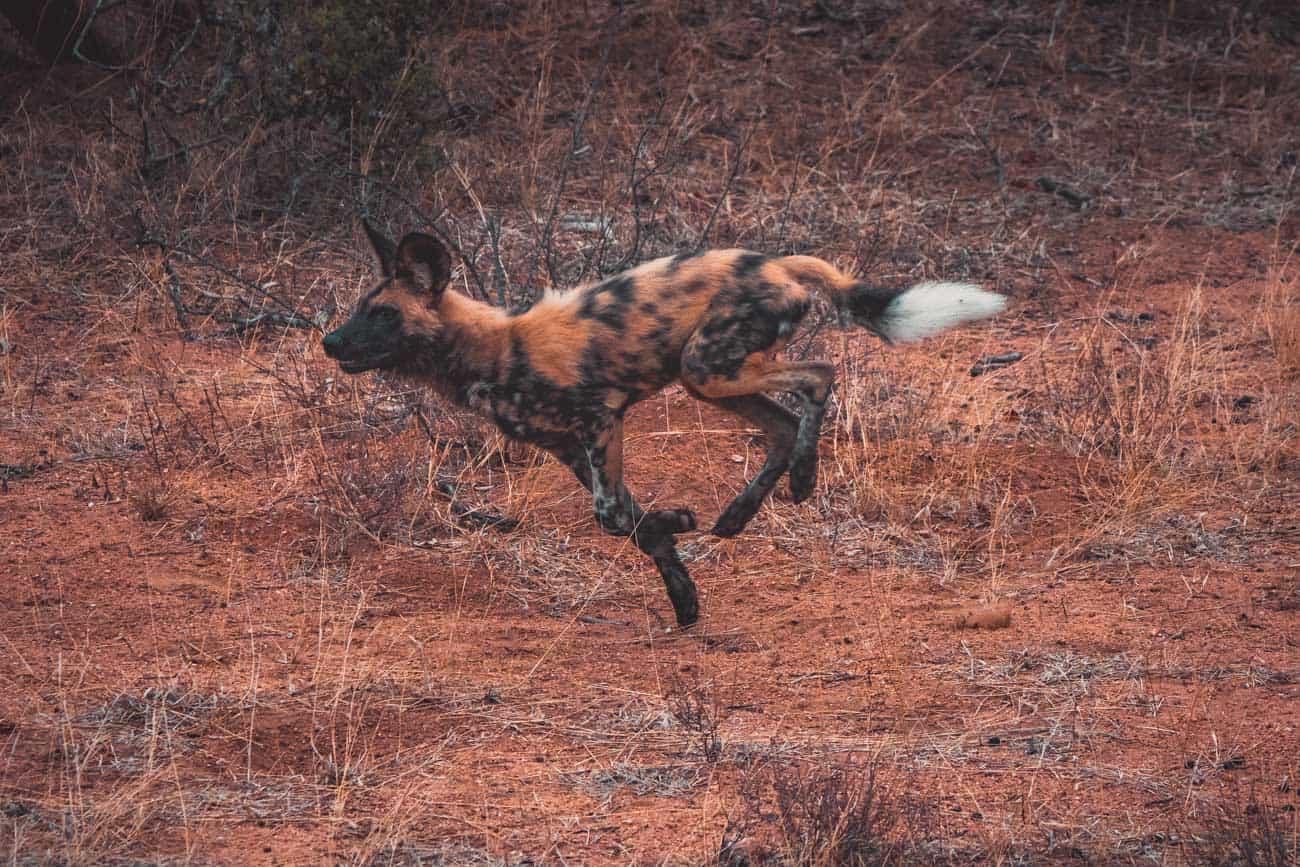 wilde honden zuid afrika