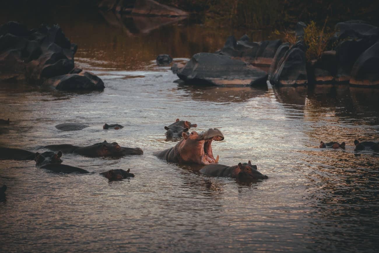 nijlpaarden krugerpark
