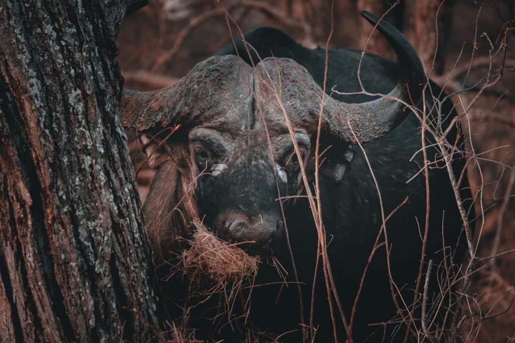 buffels spotten kruger park
